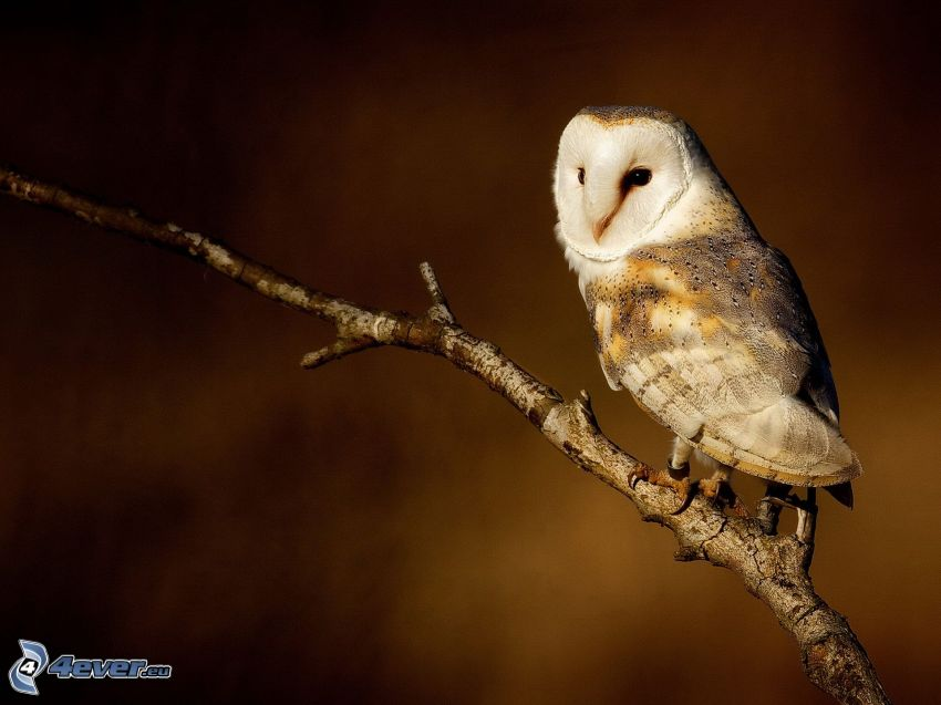 owl, twig
