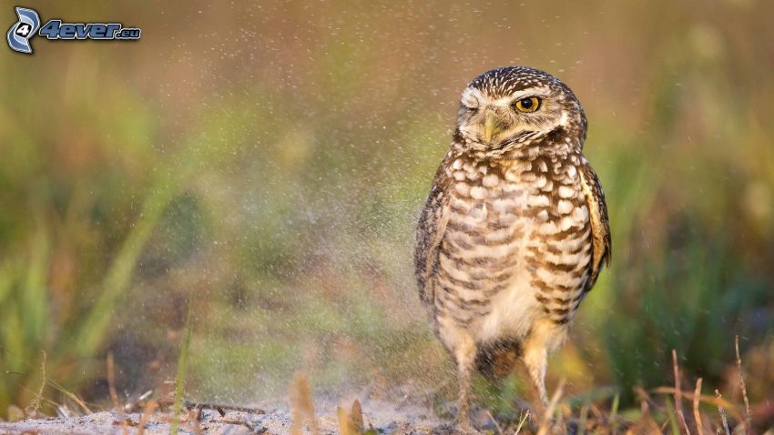 owl, water