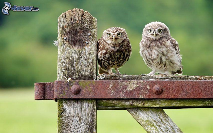 owls, fence