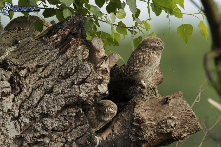 owls, stump