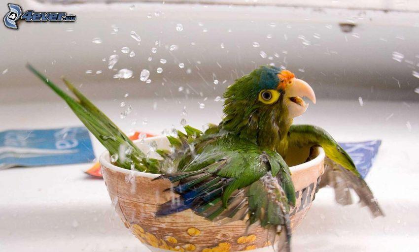 parrot, bowl, water