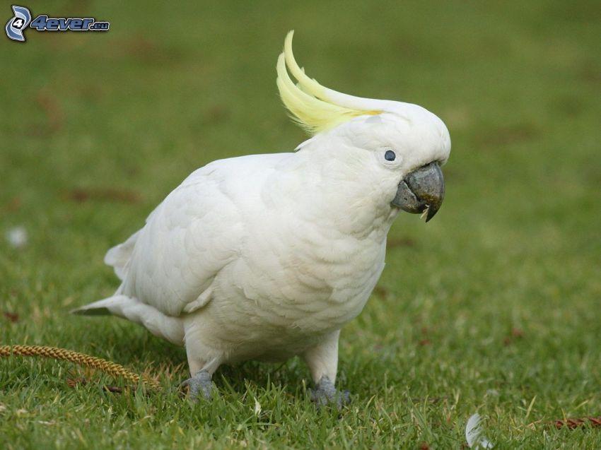 parrot, grass