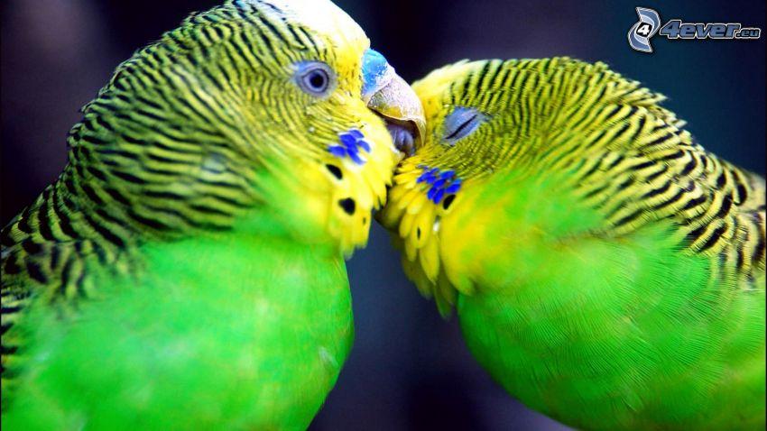 parrot, kiss