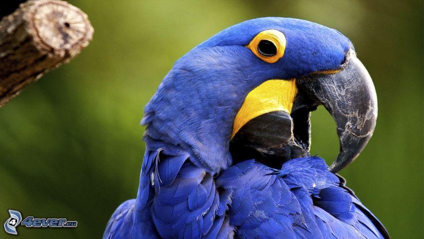 parrot Ara, blue bird