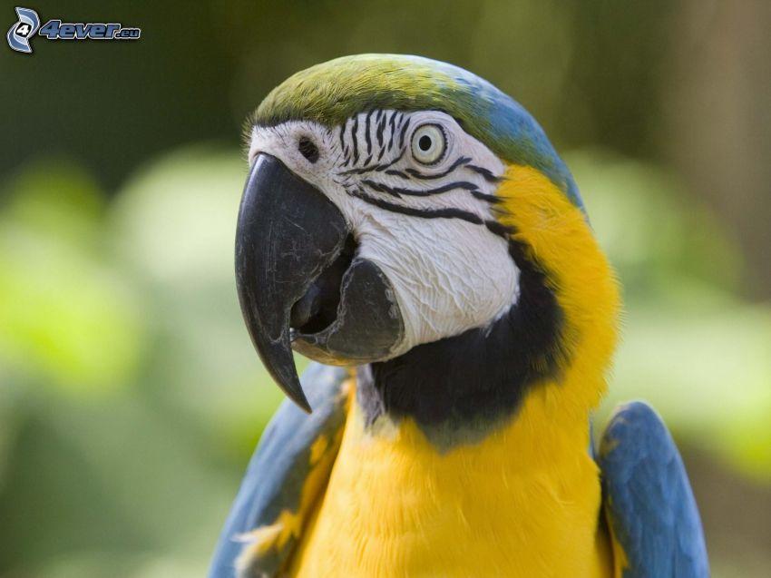 parrot Ara
