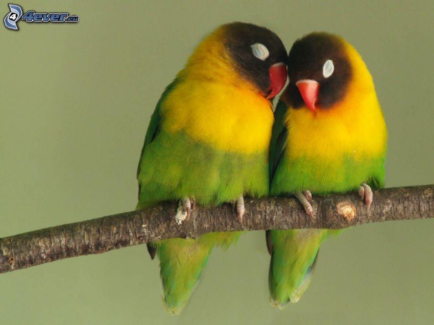 parrots, branch