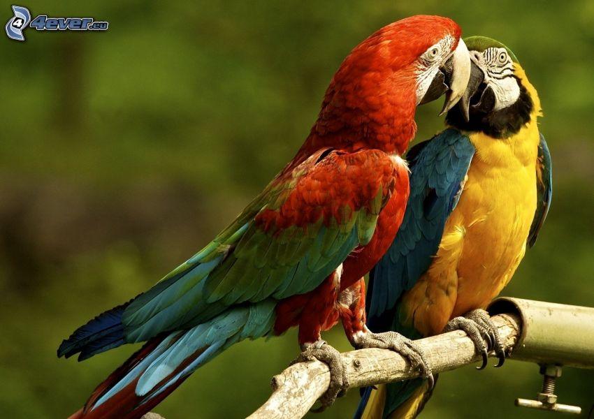 parrots, kiss