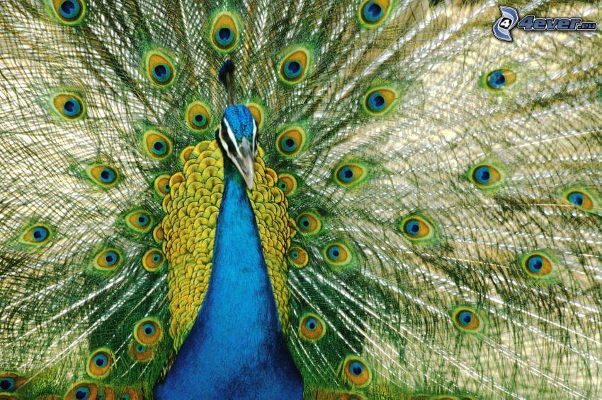 peacock, tail