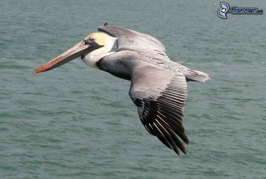 Pelican, flight, water