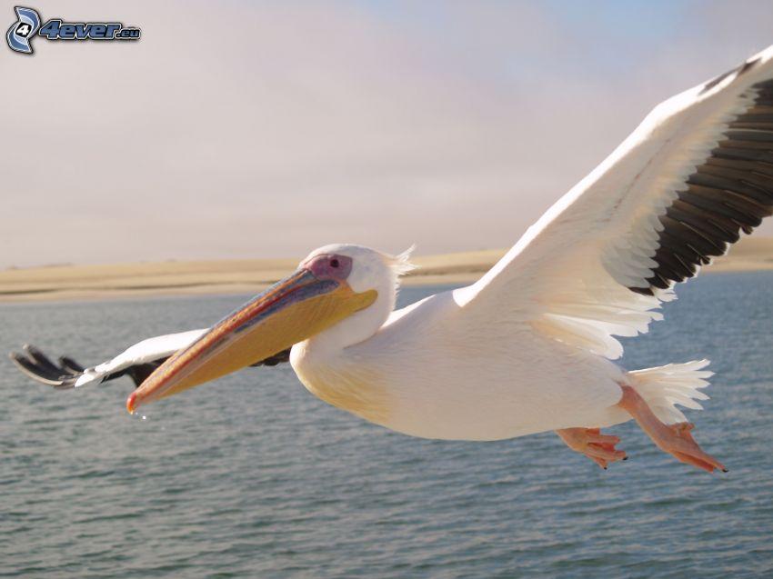 Pelican, flight, wings, water