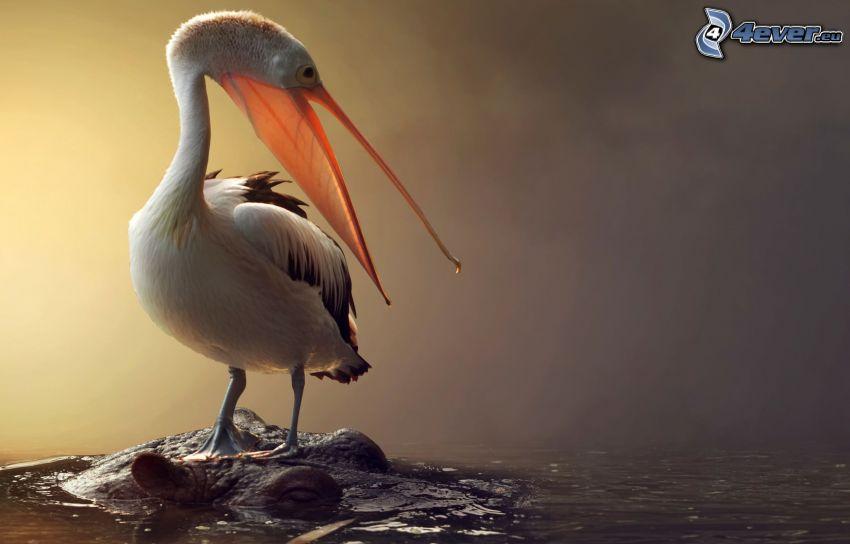 Pelican, hippo, water