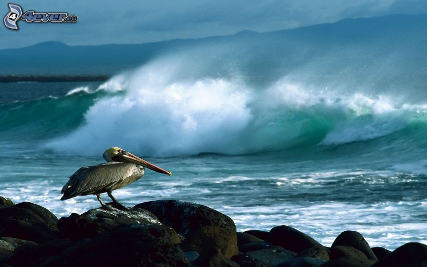 Pelican, rocks, sea, wave