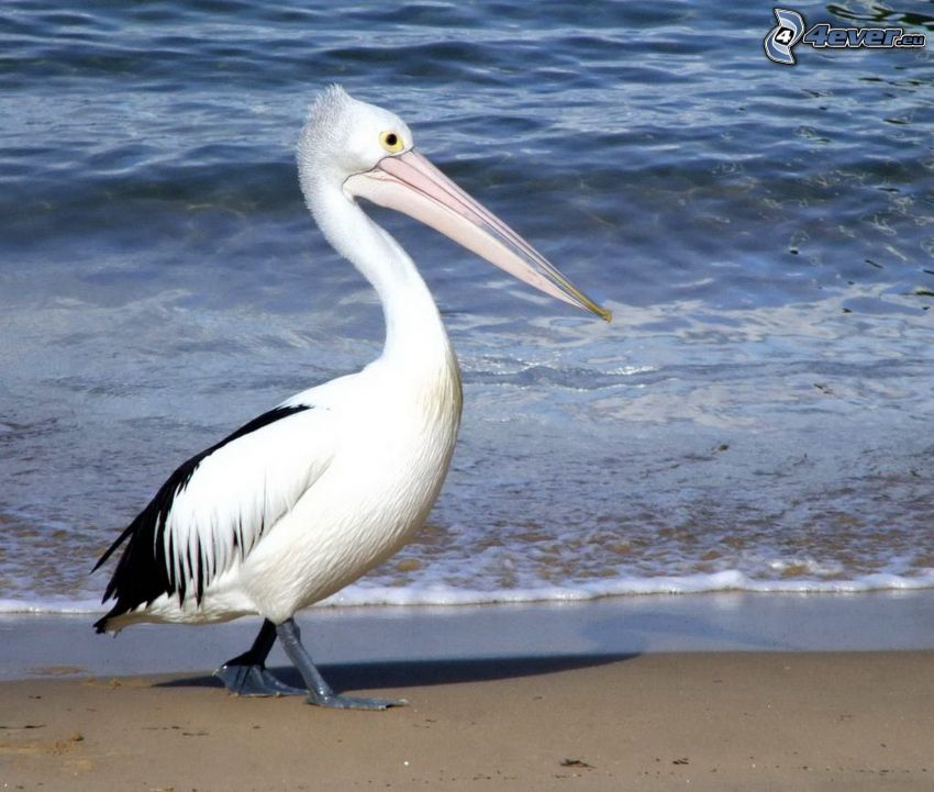 Pelican, sandy beach, water