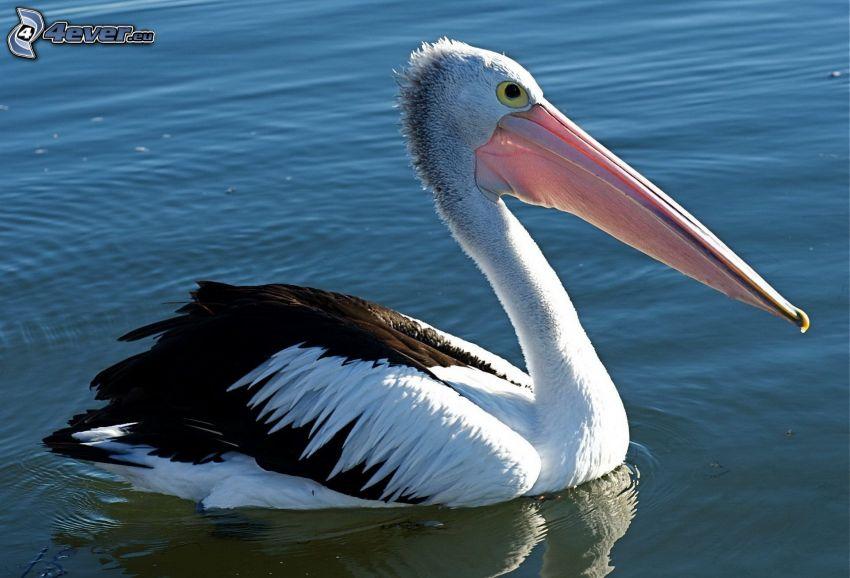 Pelican, water