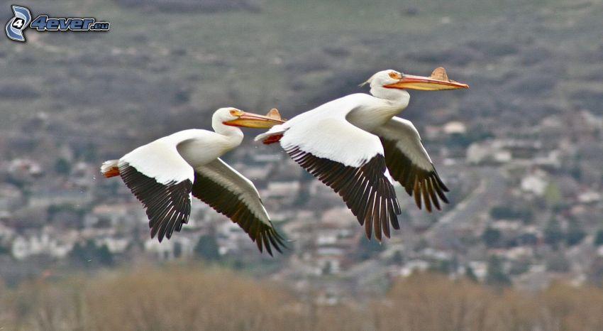 pelicans, flight
