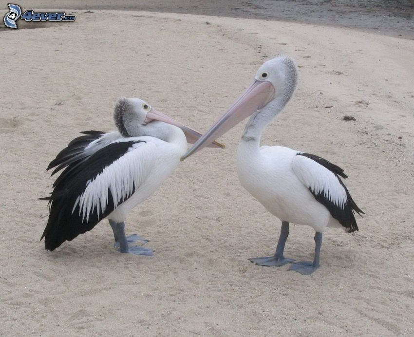 pelicans, sandy beach