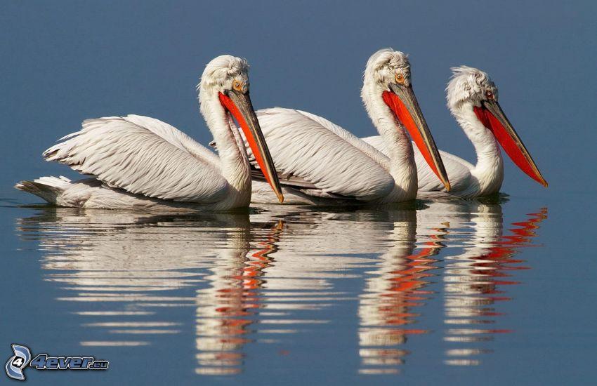 pelicans, water