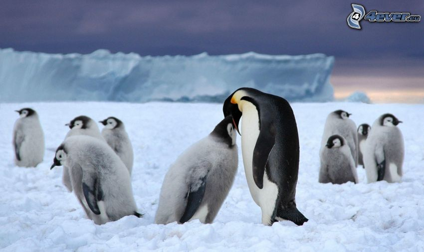 penguin and its offspring, penguins, cubs, snow