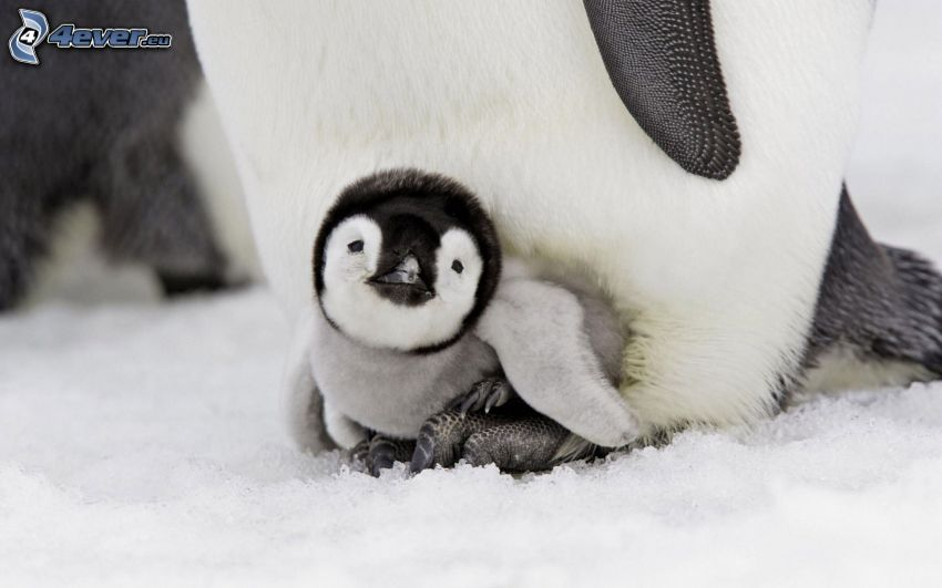 penguin and its offspring, snow