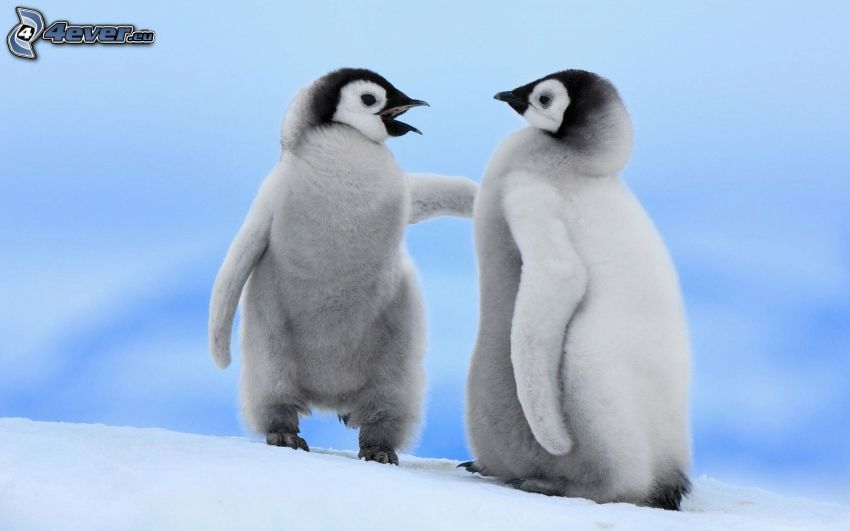 penguin offspring, snow