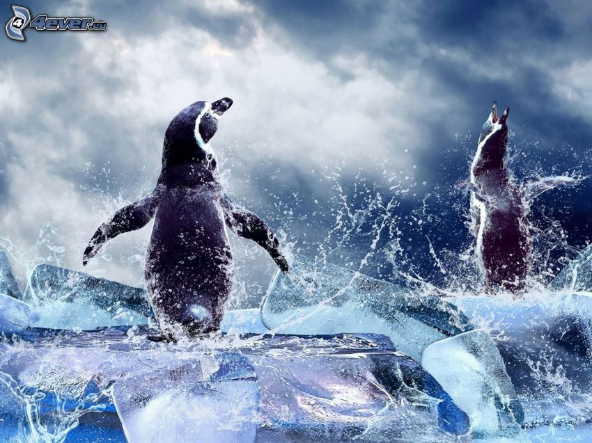 penguins, ice floe, water