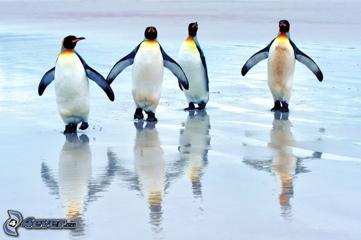 penguins, water