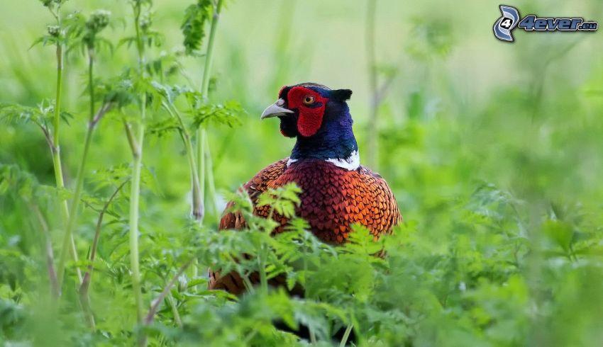 pheasant, greenery