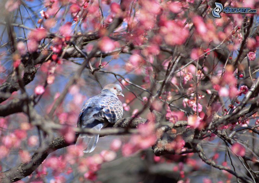 pigeon, flowering tree
