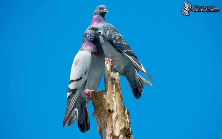 pigeons, branch