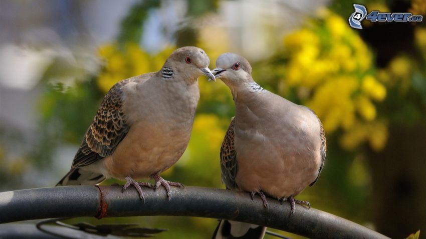pigeons, kiss