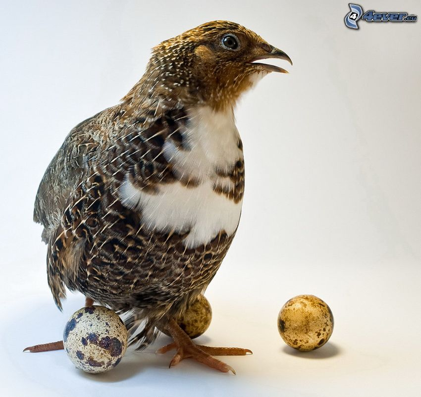 quail, eggs