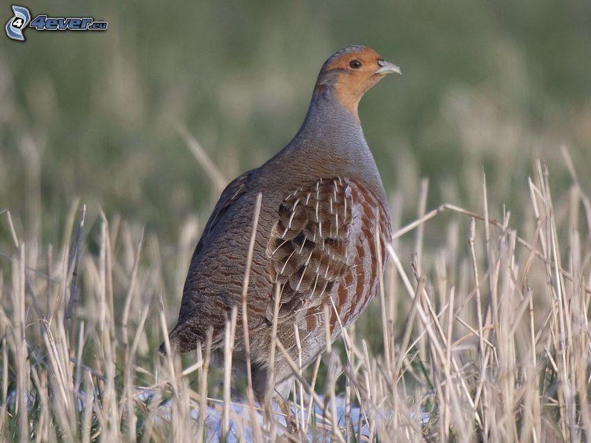 quail, straw