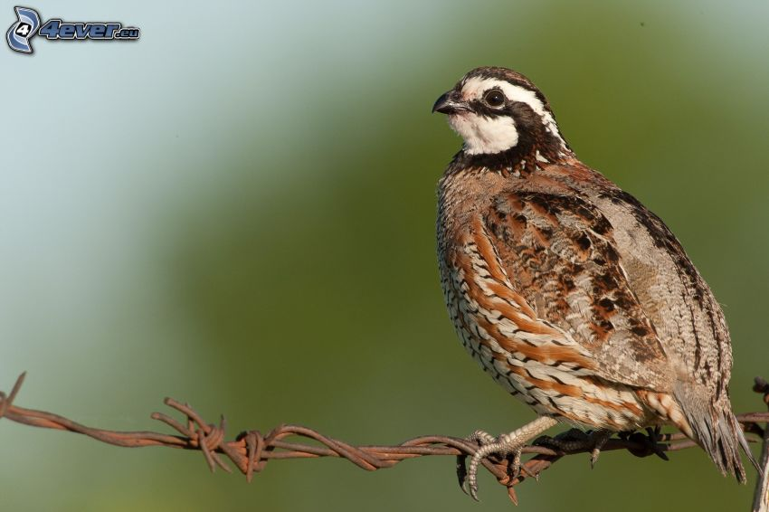 quail, wire