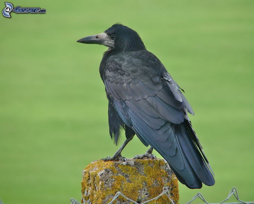 raven, fence
