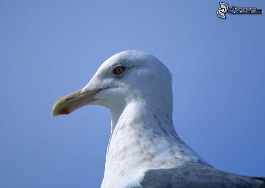 seagull, blue sky