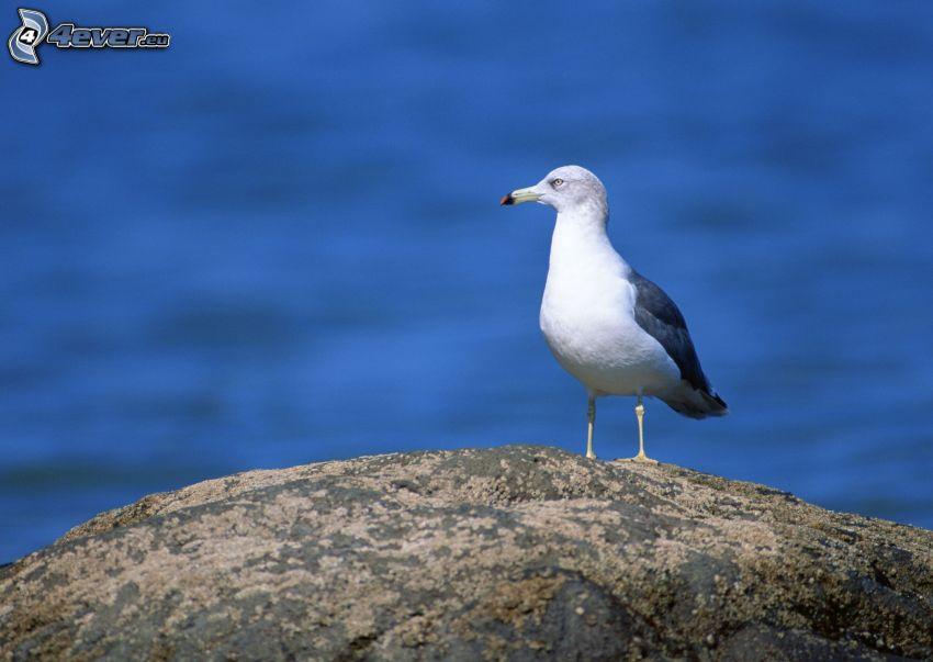 seagull, boulder