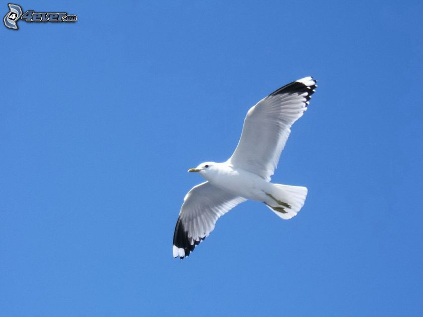 seagull, flight, blue sky