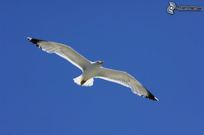seagull, flight, blue sky