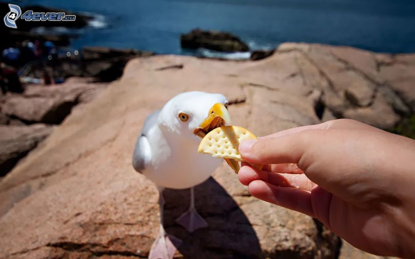 seagull, hand, cookie