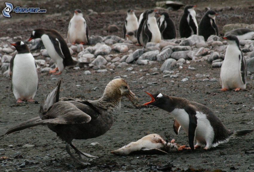 seagull, penguins