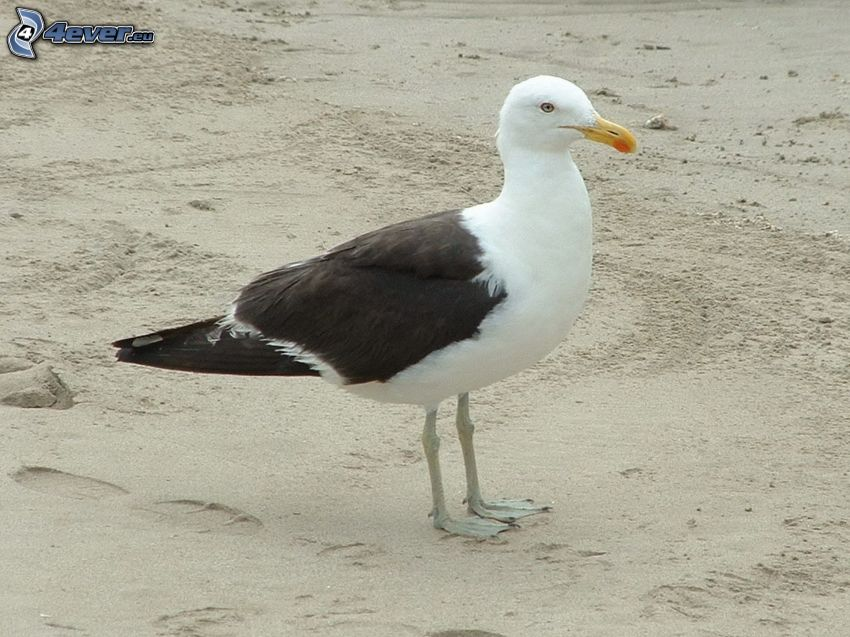 seagull, sand