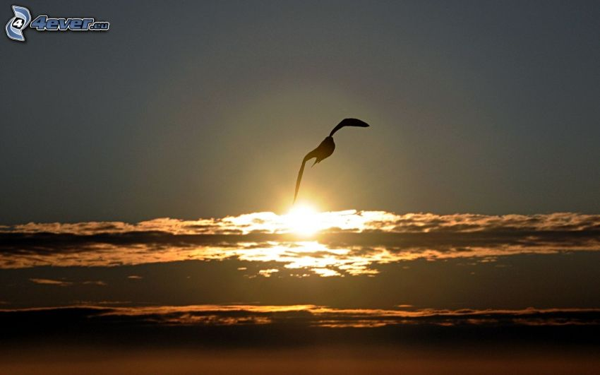 seagull, sunset in the clouds, silhouette of the bird