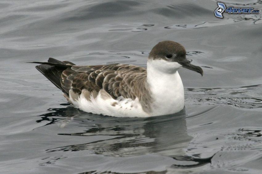 seagull, water