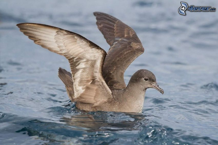 seagull, wings, water