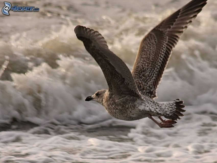 seagull, wings, wave