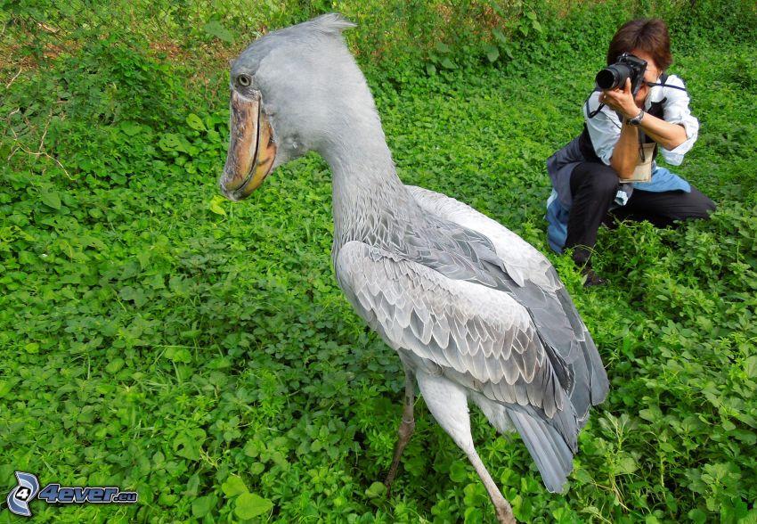 Shoebill African, photographer, grass