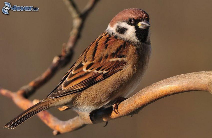 sparrow, branch