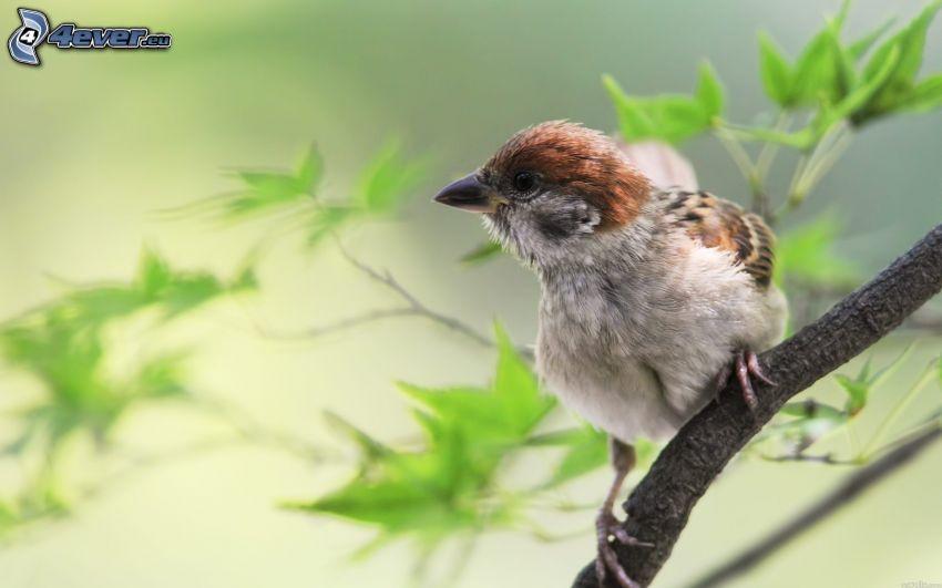 sparrow, twig