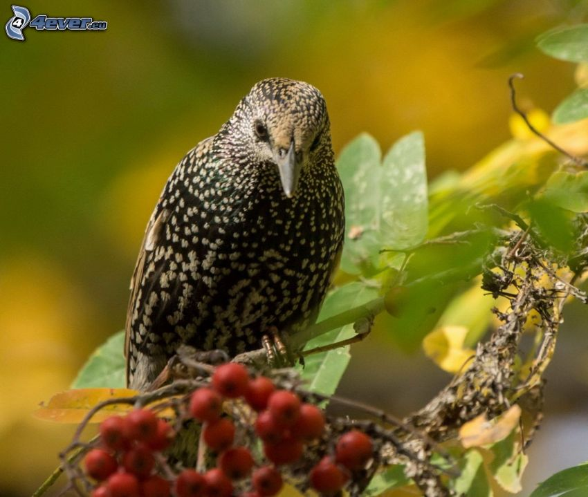 starling, mountain-ash