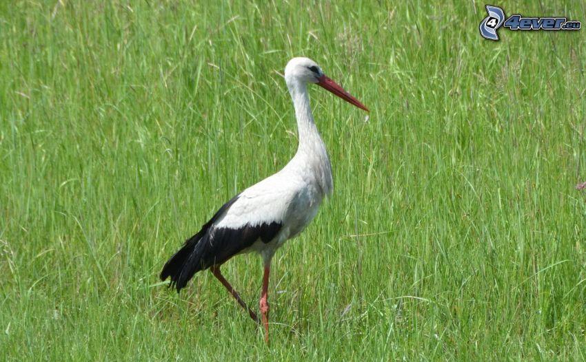 stork, grass